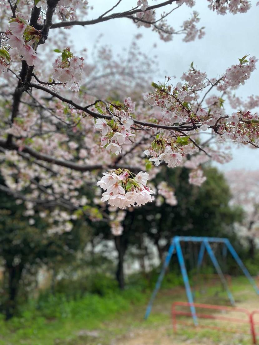 散歩がてら桜見に行ったんだけど、事故が起きて萎える。 (人混みには行ってません