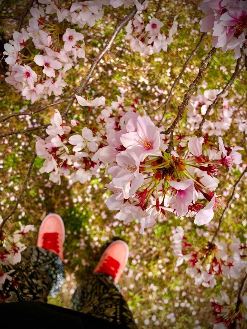 桜と🐷ちゃん。